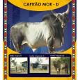 Dose de sêmen de touro da raça Guzerá - Capitão Mor D