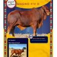 Dose de sêmen de touro da raça Sindi - Magno D