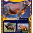 Dose de sêmen de touro da raça Sindi - Mito D