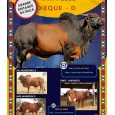 Dose de sêmen de touro da raça Sindi - Xeque D
