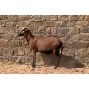 Ovino - macho - Barriga Negra. Idade: Segunda Muda