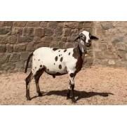 Ovino - macho - Santa Inês - Chitado. Idade: Dente de Leite