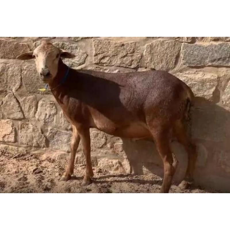 Ovino - macho – Morada Nova. Idade: Primeira Muda - 2.