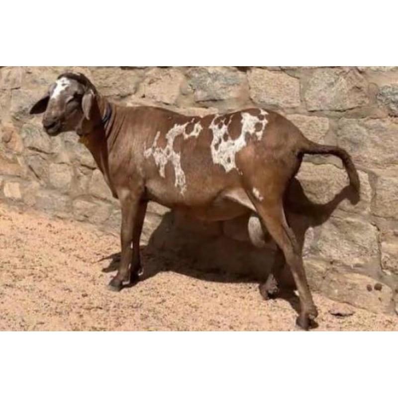 Ovino - macho - Santa Inês - Chitado. Idade: Boca Cheia.
