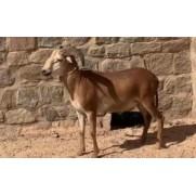 Ovino - macho – Jaguaribe. Idade: Segunda Muda.