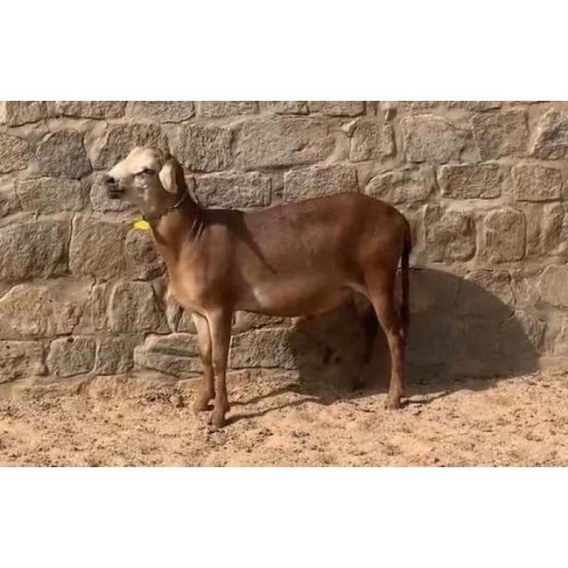 Ovino - macho - Cabugi - sem chifre. Idade: Primeira Muda.