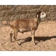 Ovino - macho - Cabugi - com chifre. Idade: Primeira Muda.