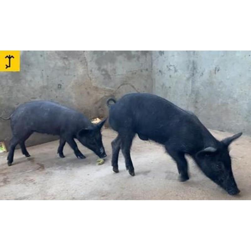 Porcos Caatingueiros - Casal 2