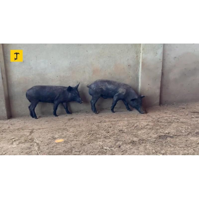 Porcos Caatingueiros - Casal 1